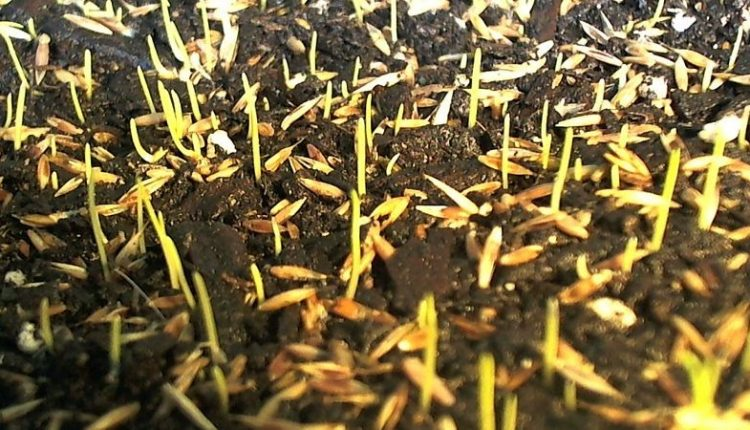 How Long Does Grass Seed Take To Germinate?